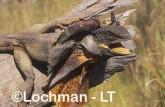 Chlamydosaurus kingii - Frill-necked Lizard ACY-773 ©Marie Lochman - Lochman LT