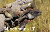 Chlamydosaurus kingii - Frill-necked Lizard ACY-775 ©Marie Lochman - Lochman LT