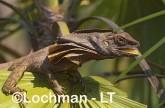 Chlamydosaurus kingii - Frill-necked Lizard AFY-753 ©Marie Lochman - Lochman LT