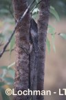 Chlamydosaurus kingii - Frill-necked Lizard PPY-673 ©Jiri Lochman - Lochman LT