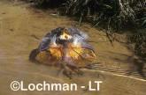 Chlamydosaurus kingii - Frill-necked Lizard ZKY-778 ©Jiri Lochman - Lochman LT