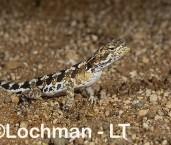 Ctenophorus butleri - Shark Bay Heath Dragon RFY-444 ©Jiri Lochman - Lochman LT