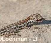 Ctenophorus maculatus griseus - Spotted Military Dragon LLT-012 ©Jiri Lochman - Lochman LT