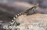Ctenophorus ornatus - Ornate Dragon  ZAY-898 ©Jiri Lochman - Lochman LT