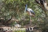 Ephippiorhynchus asiaticus - Jabiru LLT-140 ©Jiri Lochman - Lochman LT