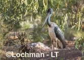 Ephippiorhynchus asiaticus - Jabiru LLT-143 ©Jiri Lochman - Lochman LT
