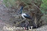 Ephippiorhynchus asiaticus - Jabiru LLT-146 ©Jiri Lochman - Lochman LT