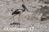 Ephippiorhynchus asiaticus - Jabiru LLT-156 ©Jiri Lochman - Lochman LT
