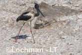 Ephippiorhynchus asiaticus - Jabiru LLT-157 ©Jiri Lochman - Lochman LT