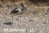Ephippiorhynchus asiaticus - Jabiru LLT-159 ©Jiri Lochman - Lochman LT