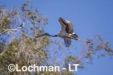 Ephippiorhynchus asiaticus - Jabiru LLT-163 ©Jiri Lochman - Lochman LT
