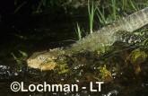 Intellagama lesueurii - Eastern Water Dragon AMY-556 ©Marie Lochman - Lochman LT