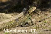 Intellagama lesueurii - Eastern Water Dragon  LLD-977 © Lochman Transparencies