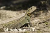 Intellagama lesueurii - Eastern Water Dragon LLD-979 © Lochman Transparencies