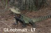 Intellagama lesueurii - Eastern Water Dragon XNY-761 ©Jiri Lochman - Lochman LT