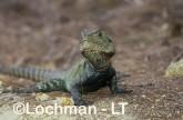 Intellagama lesueurii - Eastern Water Dragon XNY-763 ©Jiri Lochman - Lochman LT