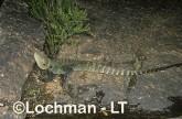 Intellagama lesueurii - Eastern Water Dragon XNY-771 ©Jiri Lochman - Lochman LT