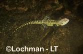 Intellagama lesueurii - Eastern Water Dragon XNY-772 ©Jiri Lochman - Lochman LT