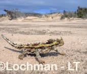 Moloch horridus - Thorny Devil LLT-041 ©Jiri Lochman - Lochman LT