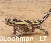 Moloch horridus - Thorny Devil LLT-045 ©Jiri Lochman - Lochman LT