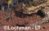 Moloch horridus - Thorny Devil XXY-771 ©Jiri Lochman - Lochman LT