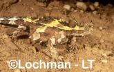 Moloch horridus - Thorny Devil YAY-113 ©Jiri Lochman - Lochman LT