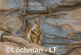 Petrogale rothschildi - Rothschild's Rock-Wallaby LLT-084 ©Jiri Lochman - Lochman LT