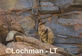 Petrogale rothschildi - Rothschild's Rock-Wallaby LLT-092 ©Jiri Lochman - Lochman LT