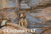 Petrogale rothschildi - Rothschild's Rock-Wallaby LLT-096 ©Jiri Lochman - Lochman LT