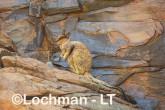 Petrogale rothschildi - Rothschild's Rock-Wallaby LLT-101 ©Jiri Lochman - Lochman LT