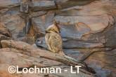 Petrogale rothschildi - Rothschild's Rock-Wallaby LLT-103 ©Jiri Lochman - Lochman LT