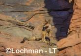 Petrogale rothschildi - Rothschild's Rock-Wallaby LLT-109 ©Jiri Lochman - Lochman LT