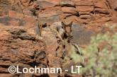 Petrogale rothschildi - Rothschild's Rock-Wallaby LLT-112 ©Jiri Lochman - Lochman LT