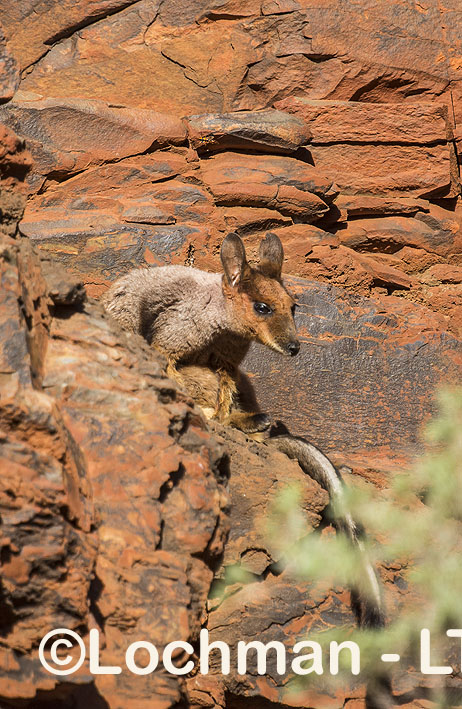 Rothschild's Rock-Wallaby