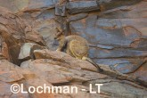 Petrogale rothschildi - Rothschild's Rock-Wallaby LLT-127 ©Jiri Lochman - Lochman LT