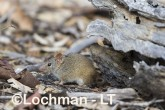 Antechinus flavipes - Yellow-footed Antechinus LLT-391 ©Jiri Lochman - Lochman LT
