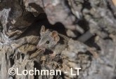 Antechinus flavipes - Yellow-footed Antechinus LLT-392 ©Jiri Lochman - Lochman LT