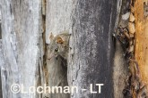 Antechinus flavipes - Yellow-footed Antechinus LLT-393 ©Jiri Lochman - Lochman LT