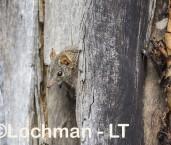 Antechinus flavipes - Yellow-footed Antechinus LLT-393 ©Jiri Lochman - Lochman LT