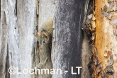 Antechinus flavipes - Yellow-footed Antechinus LLT-394 ©Jiri Lochman - Lochman LT