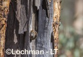 Antechinus flavipes - Yellow-footed Antechinus LLT-396 ©Jiri Lochman - Lochman LT