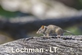 Antechinus flavipes - Yellow-footed Antechinus LLT-398 ©Jiri Lochman - Lochman LT