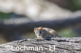 Antechinus flavipes - Yellow-footed Antechinus LLT-399 ©Jiri Lochman - Lochman LT