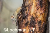 Antechinus flavipes - Yellow-footed Antechinus LLT-400 ©Jiri Lochman - Lochman LT