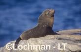 Arctocephalus forsteri New Zealand Fur-Seal LDY-127 ©Jiri Lochman - Lochman LT