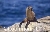 Arctocephalus forsteri New Zealand Fur-Seal LDY-130 ©Jiri Lochman - Lochman LT