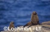 Arctocephalus forsteri New Zealand Fur-Seal LDY-139 ©Jiri Lochman - Lochman LT
