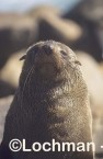 Arctocephalus forsteri New Zealand Fur-Seal LDY-143 ©Jiri Lochman - Lochman LT