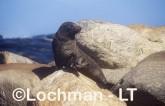 Arctocephalus forsteri New Zealand Fur-Seal LDY-175 ©Jiri Lochman - Lochman LT