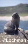Arctocephalus forsteri New Zealand Fur-Seal LDY-184 ©Jiri Lochman - Lochman LT